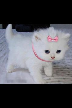 Cute white fluffy princess kitty cat