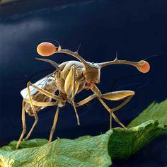Stalk-eyes Fly. Stielaugenfliege (Teleopsis belzebuth).  REM