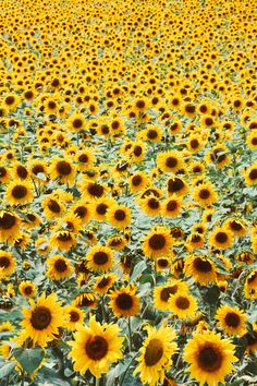 Field of sunflowers(tell me what will you do?)