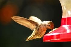 How to Make Hummingbird Food With Organic Sugar and other tips for feeding these wee birds.