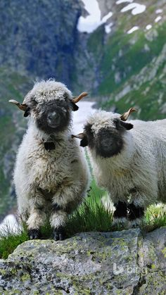 Just adorable: Valais #BlacknoseSheep – Sooo #härzig: Walliser Schwarznasenschafe | bestswiss.ch