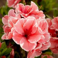 Autumn Sunburst Azalea 'Autumn Sunburst' Azalea    Known for breeding azaleas that bloom through spring, summer, and fall, Encore released this dwarf azalea with white-ruffled coral pink blooms in fall 2012, but now is the time to settle it into your landscape. USDA zones: 6-9