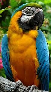 Macaw HD Wallpaper for iPhone - HD Wallpapers , Picture ,Background ,Photos ,Image - Free HQ Wallpaper - HD Wallpaper PC