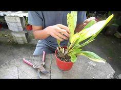 Curso de orquídeas on-line: Podas de saneamiento - YouTube
