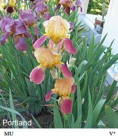 Portland | Historic Iris Preservation Society