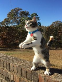 These cats are just standing around doing nothing… just like humans! These cats are just standing around doing nothing… just like Dancing Animals, Dancing Cat, Cat Vs Cat, Dog Cat, Funny Cats, Funny Animals, Cute Animals, Kittens Cutest, Cats And Kittens