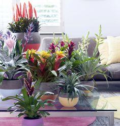 Spannende vormen, tropische kleuren, met Bromelia haal je het mooiste uit het regenwoud in huis, als voorschot op de lente…