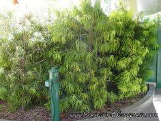 Common Name: Fern Pine Scientific name: Podocarpus gracilior  USDA Hardiness Zones: 9a-11 Pronunciation: pod-oh-KAR-pus grass-IL-ee-or Family: Podocarpaceae Foliage: Evergreen