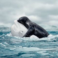 Warm hugs in cold water. This stunning shot captures the moment a seal takes a free ride from a beluga whale. @roamtheoceans - Image ©Vizerskaya via @discovery_uk #DiscoverOcean