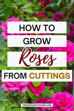 A beautiful rose garden of your own is not out of reach. Check out this essential guide about how to grow roses for tips on planting, pruning, fertilizing, and choosing the best roses for your landscape. The perfect plants for a full sun garden!   Full Sun Plants Full Sun Garden, Full Sun Plants, Shade Garden, Garden Plants, Best Roses, Heirloom Roses, Types Of Roses, Sun Perennials, Gardening For Beginners