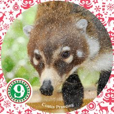 On the ninth day of Christmas my true love sent to me: 9 Coatis Prancing 8 Gray Foxes Climbing 7 Bears a Swimming 6 Owls a Laying 5 Coyotes 4 Curious Kit Foxes 3 Javelinas 2 Porcupines and a Jaguar Hybrid in a Tree