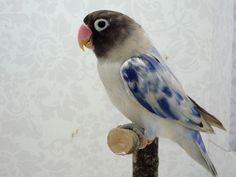 Agapornis lovebird - amazing colors
