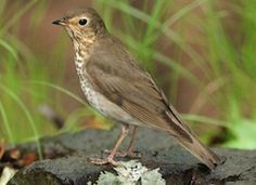 These operatic singers are found in forests all over the Northwest during the summer, but Swainson's Thrush are most abundant in low-elevation forests on the west side of the Cascades. Find them in deciduous forests in areas with lots of delicious berries. #MustSeeBirds