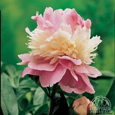 """Paeonia lactiflora 'Sorbet': Z2, 28x35""""; This unique double selection features alternating rings of soft pink and ivory petals, midseason blooming variety, excellent for cutting;"""