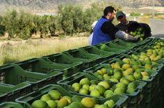 El BOE publica los contratos de limón y pomelo para la campaña 2016-2017 propuestos por Ailimpo