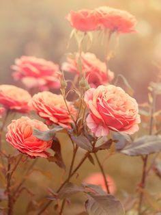 Rosas #delicadas. Queremos um jardim cheio delas A-GO-RA! E já assim, enoooormes <3 #pastels #pink #flowers #rose { post by www.mariarossetti.com.br }