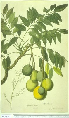 Spondias dulcis (syn. Spondias cytherea), known commonly as ambarella, is an equatorial or tropical tree, with edible fruit containing a fibrous pit. It is known by many other names,  including kedondong  , buah long long , pomme cythere , June plum,  juplon , golden apple  , jobo indio , cajá-manga and cajarana , quả cóc , manzana de oro