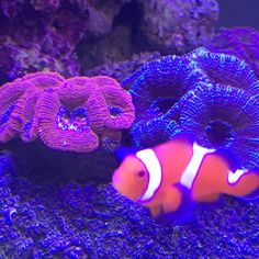 Acans and clowns. #nemo #iphone6 #coral #reeftank #coralreeftank…  #hardcoral #hard #coral #corals #marine #saltwater #hardcorals #corals #reeftank #reefaquarium #saltwatertank #saltwateraquarium #marinetank #marineaquarium #tank #aquarium #marine #nano #fish #lps #sps