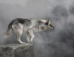 Wolf medicine is the medicine of the Teacher.  A teacher is not a person with lots of information, though they may have that.  A teacher is someone who has developed the ability to hold a healthy space around them regardless of outside influences.  Space is the key to learning.  Wolf holds the space for others to find their own.
