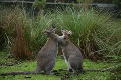 Benjamin W Bennet and Mr Darcy the red necked wallaby are showing the love here at Healesville Sanctuary