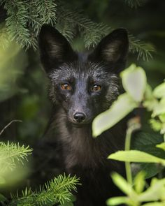 "beautiful-wildlife: ""Silver Fox Pup by © Jeff Dyck """