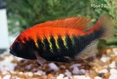 Rift Valley Cichlids (Collection only)