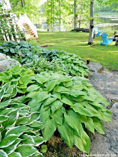 I would like to have a circular bed of hostas with an inner spot for colorful flowers including irises to look like a mandala from above.   Vio~