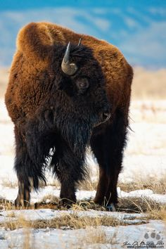 American Bison by John De Bord Photography