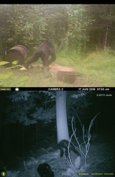 New development in U.P. Michigan Bigfoot photo debate - Apparently we now have Michigan Sasquatch too! However, this looks like a Bear to me...