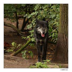 her-wolf:    Lone Wolf by Franz-Josef Nentwig