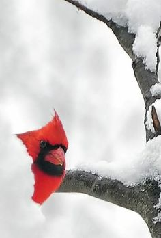 Cardinal peeping through the snow