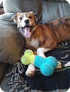 Doylestown, PA - Collie Mix. Meet Jackie, a puppy for adoption. http://www.adoptapet.com/pet/12136657-doylestown-pennsylvania-collie-mix