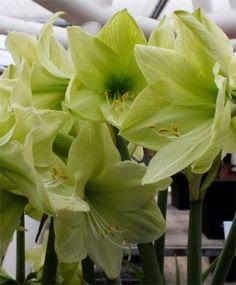 Amaryllis Luna - Royal Dutch Hybrid Single Amaryllis - Amaryllis - Flower Bulbs Index