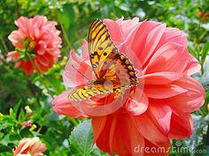 Mariposa En Dalia En El Jardín El La Primavera - Descarga De Over 42 Millones de fotos de alta calidad e imágenes Vectores% ee%. Inscríbete GRATIS hoy. Imagen: 69096541