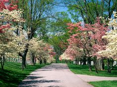Pink and White Dogwood Trees, Lexington, Kentucky