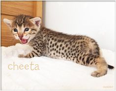 Sittingpretty Cheetara  F3 Brown Spotted Savannah girl  www.sittingprettycats.co.uk