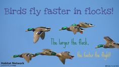 Flight speed is usually studied in terms of shape and size of the bird and its activity -foraging, migrating, etc. Flock size appears to be a significant factor as well. Regardless of the species, the larger the flock is, the faster it will travel. Be sure your home habitat is productive and resourceful for local and migrating birds by providing these habitat features from Habitat Network: http://content.yardmap.org/learn/?s=Habitat+Feature&post_type=learn.