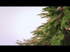 Creating Photorealistic Pine Trees in Blender - YouTube