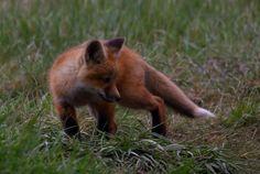 Fotograf Red Fox kit von Ashley Hockenberry auf 500px