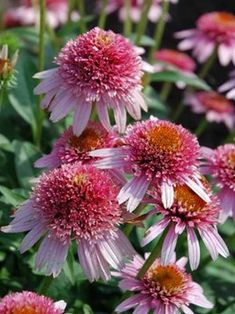 Echinacea Butterfly Kisses — Bluestone Perennials You might be in the proper place about echinacea… Astrantia, Flower Branch, Butterfly Kisses, Flowers Perennials, Ornamental Grasses, Salvia, Clematis, Plant Care, Cut Flowers