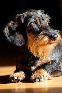 This is a mix of two of my dogs! ha ha ha a Daschound girl and a Silky Terrier boy! (of course its not true, but Im sure their babies would look like this one!)