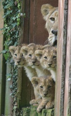 Unusual to have so many cubs. Paignton Zoo UK