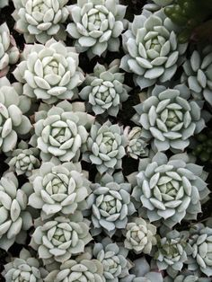 Succulents for summer #plants #succulents