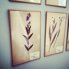 Very jealous of this #collection dried #flowers from #Sweden dating back to the 1920's. #flower #herbarium #antique #pretty #happy #happiness #nature #naturelovers #picoftheday #interiordesign #design #liveauthentic