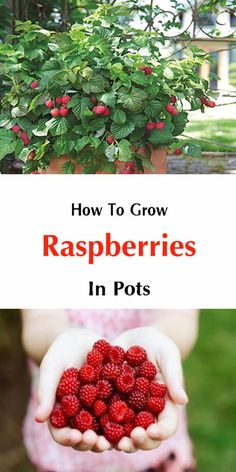Ready for an annual raspberry rainfall in your backyard? Learn to grow raspberry bushes or to grow raspberries in small pots. Garden Herb shows how easy it can be.