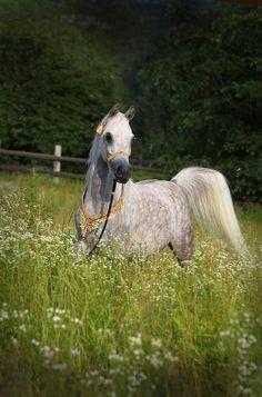 Arabian mare Le Shareia