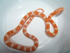 Creamsicle Corn Snake - a crossbreed between a Corn Snake and a Rat Snake