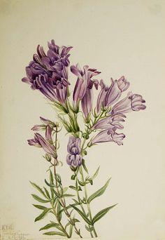 """Purple Pentstemon (Pentstemon lyallii)"", 1923, Mary Vaux Walcott, watercolor on paper, sheet: 10 x 7 in. (25.3 x 17.7 cm), Smithsonian American Art Museum, Gift of the artist, 1970.355.683"