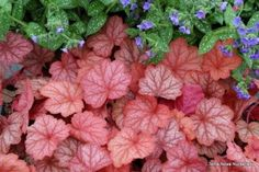 heuchera georgia peach - beautiful coral bells