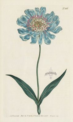 Scabiosa Caucasea. Caucasean Scabious. from William Curtis Flowers, Hydrangea, Hibiscus, Hyacinth, Red Lily, Chrysanthemum, Tulip